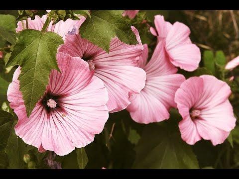 Pink mallow flower ideas youtube pink mallow flower ideas mightylinksfo