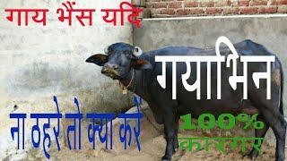 गाय भैंस यदि गयाभिन ना ठहरे तो क्या करें/treatment of pregnancy diagnosis of buffalo