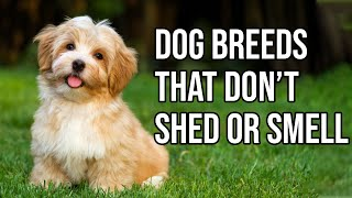Top 10 Dog Breeds That Don't shed or smell | Small Dog Breeds That Don't Shed