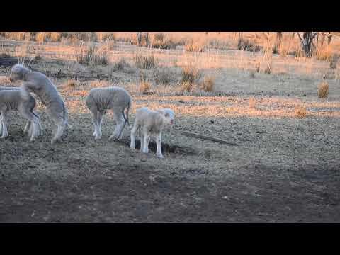 lambs 8/17