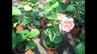 Hibiscus rosa-sinensis cultivars (Bunga Raya)