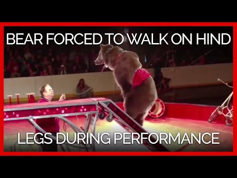 Bear Yanked by the Muzzle Is Forced to Walk on Hind Legs for Circus Performance