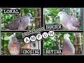 Kolaborasi Suara Pancingan Perkutut Semua Jenis Mix Singing Bird Dove  Mp3 - Mp4 Download