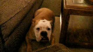 Bulldog Wakes Up From Nap; Falls Off The Couch