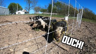 PIGLETS TEST THE ELECTRIC FENCE!
