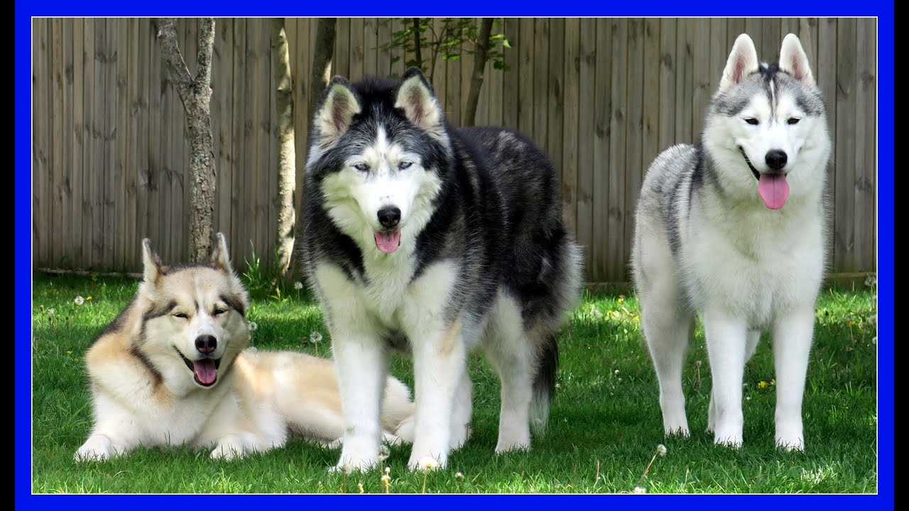 Are Your Huskies Part Wolf Askgttsd Fan Friday 255 Q A Youtube