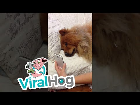 Chow Chow Misses Mommy || ViralHog