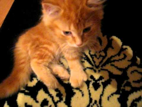Why Do Kittens Purr So Loud