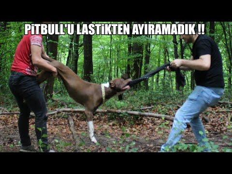 PİTBULL'U LASTİKTEN AYIRAMADIK !! ( DÜNYANIN EN GÜÇLÜ PİTBULL KÖPEKLERİNDEN 'ATEŞ ) Power Pitbull