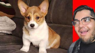 corgi-puppy-vlog