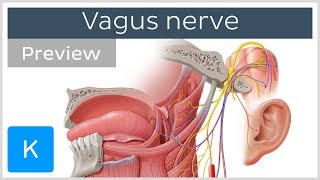 Vagus nerve: location, branches and function (preview) - Neuroanatomy | Kenhub