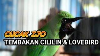 CUCAK IJO TEMBAKAN CILILIN & LOVEBIRD RAPAT KASAR.mp3