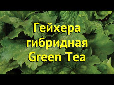 Гейхера гибридная Грин Тиа. Краткий обзор, описание характеристик heuchera Green Tea