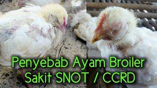 Penyebab Ayam Broiler Sakit Snot Dan Ccrd !!