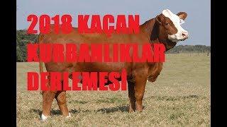 Kaçan Kurbanlıklar 2018 YENİ!!