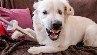 Dog vs Pump! Funny Golden Retriever Puppy Bailey