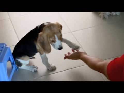 Harry the beagle 4 mths old