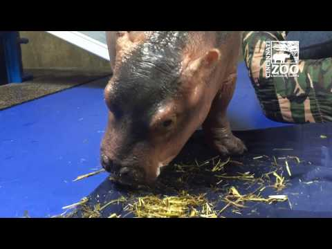 Premature Baby Hippo Fiona Eating Hay for the 1st Time - Cincinnati Zoo