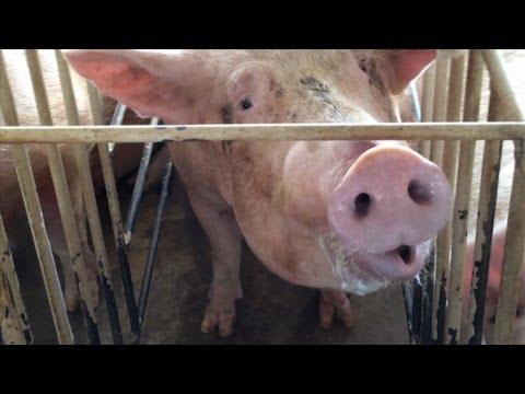 Shocking Animal Cruelty at Tyson Foods Supplier (2013 Webby Award Winner)