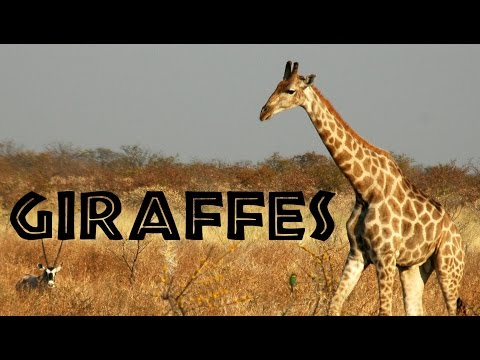 Giraffes for Kids: Learn about Giraffes - FreeSchool