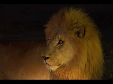July 5 WildEarth Sunset SafariLIVE Drive and Bush walk:  Lion