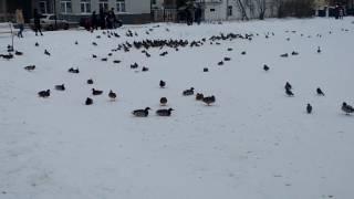 Утки на Шаговском пруду в Костроме