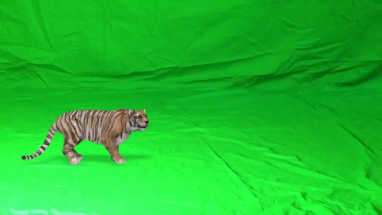 Tiger attack green background | FunnyCat TV