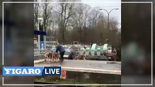 🦌 Un cerf se réfugie sur les rails de la gare à Chantilly pendant une chasse à courre