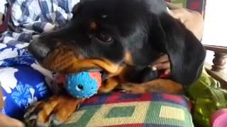 Angry Rottweiler Puppy Don't Want To Share His Toy