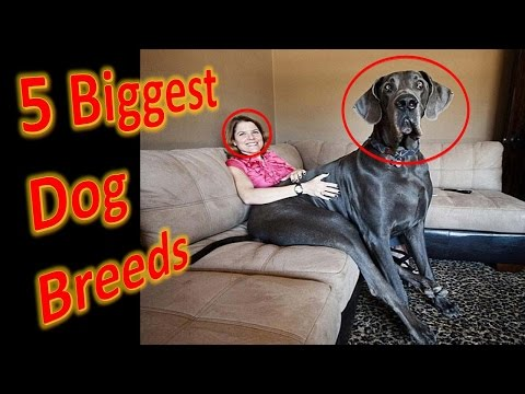 Top 5 Biggest Dog Breeds In The World - Most Amazing Biggest Dog Breeds In The World