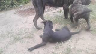 О породе, собака итальянский кане-корсо, смотреть фильмы  о породе.  кане-корсо на прогулке
