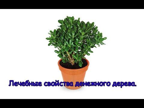 Денежное дерево. Лечебные свойства денежного дерева.