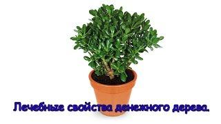 Денежное дерево. Лечебные свойства денежного дерева.(Комнатное растение