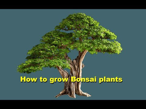 Some Information about Bonsai plants by Dr Saeed Khan Tips & care in (Urdu/ Hindi)