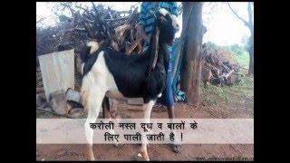 बकरी नस्ल तथा उसकी विशेषता (Goat Breeds and Benefits in India)