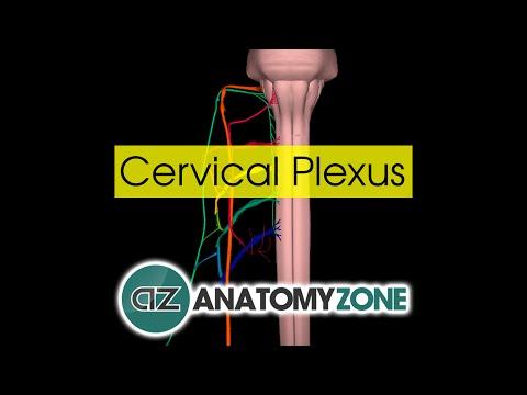 Cervical Plexus   Anatomy Tutorial