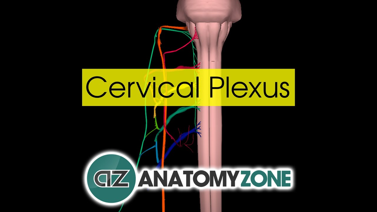 Cervical Plexus | Anatomy Tutorial - YouTube