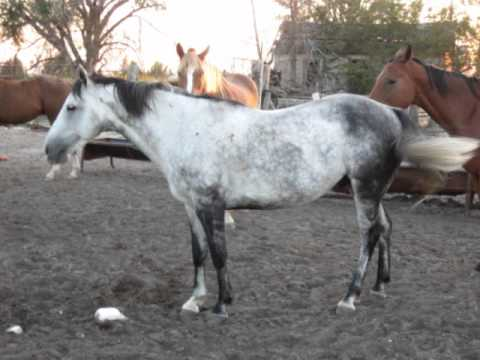 Gentle Grey HORSE ROPE ROPE ROPE