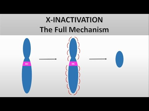 X Inactivation: The full mechanism, the formation of the Barr body, Heterochromatin and euchromatin