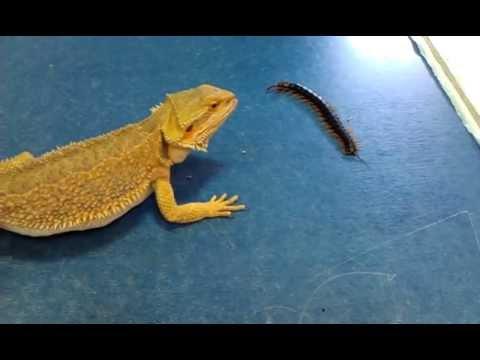 Bearded dragon eating centipede!    Γενειοφόρος δράκος τρώει σαρανταποδαρούσα !!!