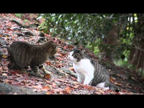 Cat Fight   Pelea de Gatos HD 1080p 1080p