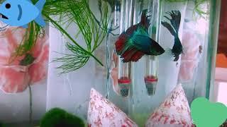 Рыбка петушок двухвостый
