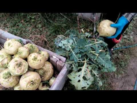 Капуста кольраби Гигант - урожай 2016