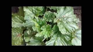 Garden Allotment (Ep 3) - June 2014