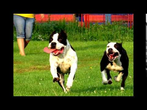CLY kennel American Staffordshire Terriers Amstaffs from Serbia