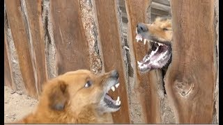 Dog attack through fence