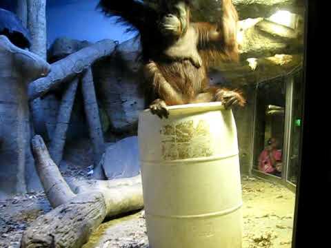 Orangutan barrel-walking at the Henry Doorly Zoo