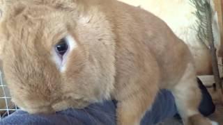 Гиперактивный бургундский кролик