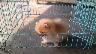 Dijual Mini Pomeranian
