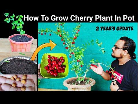 How to grow Cherry plant from seeds in pot 🍒 2 Year's Updates🍒 चेरी का पौधा गमले में उगाने का तरीक